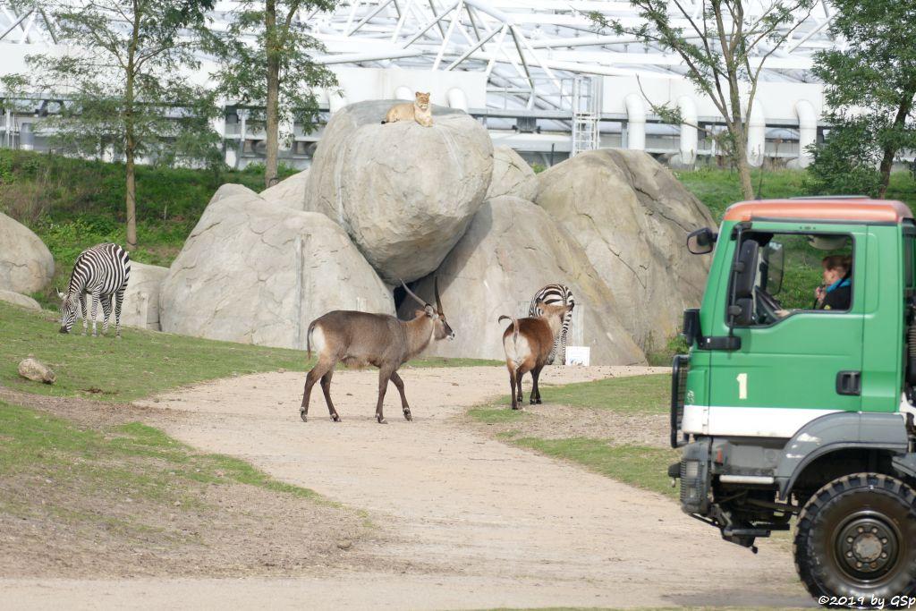 Böhm-Steppenzebra (Grant-Zebra), Defassa-Wasserbock (Roter Wasserbock), Löwe