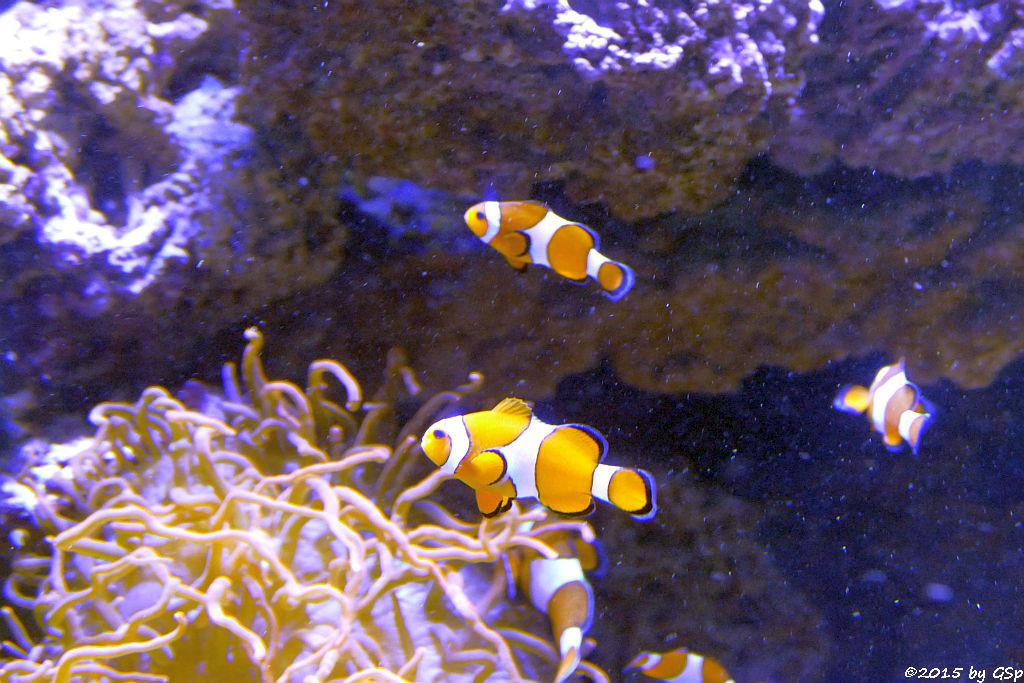 Clown-Anemonenfisch, Kupferanemone