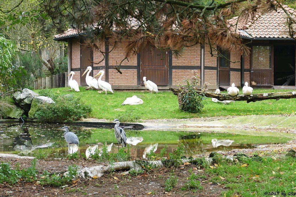 Graureiher (Fischreiher), Rosapelikan