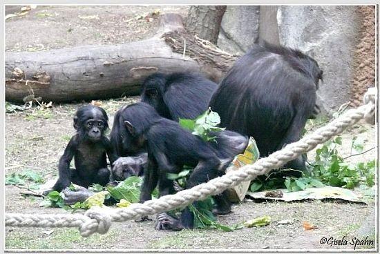 Bonobos 2008-2010 - 138 Fotos