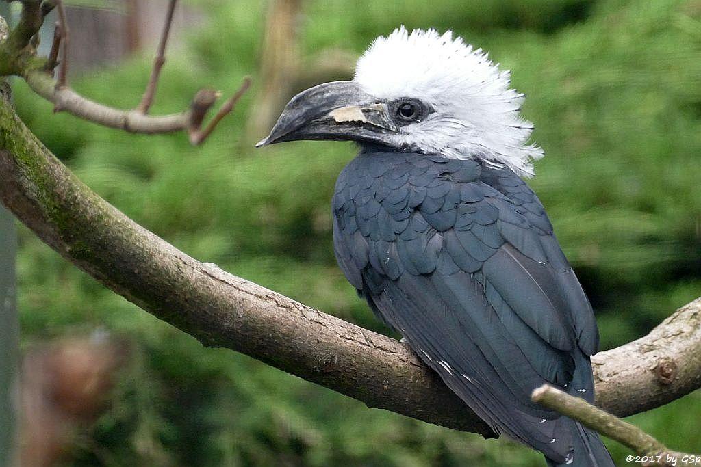 Weißkopf-Hornvogel (Weißschopf-Hornvogel, Perückenhornvogel)