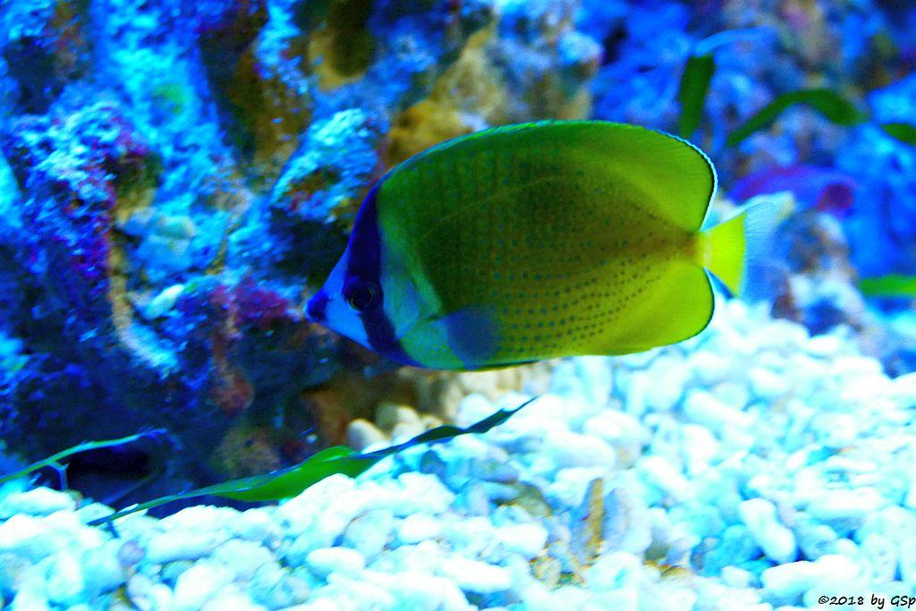 Braungelber Falterfisch (Weißpunkt-Falterfisch, Kleins Falterfisch)