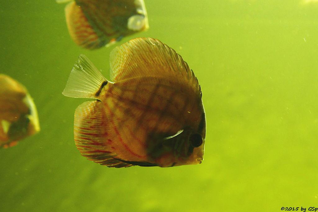 Diskus (Symphysodon discus)