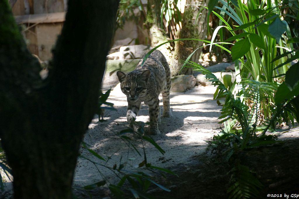 Kleinfleckkatze (Salzkatze, Geoffroy-Katze)