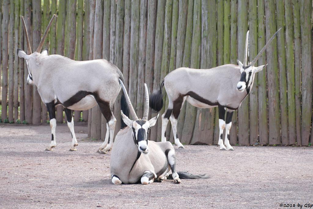 Südliche Oryx (Südafrikanischer Spießbock, Südafrikanische Oryx)