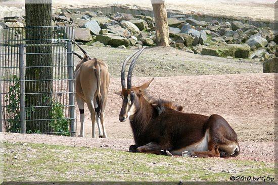 Rappenantilope und Elenantilope