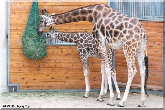 Rothschild-Giraffe KALOU