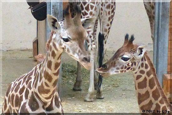 Rothschild-Giraffe (KALOU und LARA) - 39 Fotos