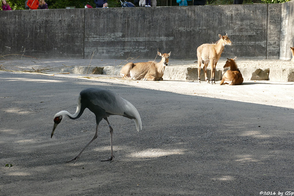 Weißnackenkranich, Nilgau-Antilope