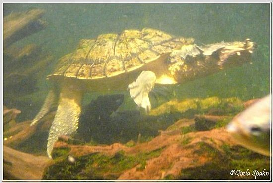 Fransenschildkröte Matamata