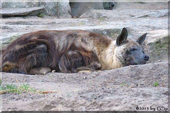 Braune Hyäne (Schabrackenhyäne)
