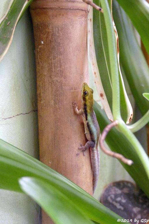 Blauer Bambustaggecko (Blaue Bambusphelsume)