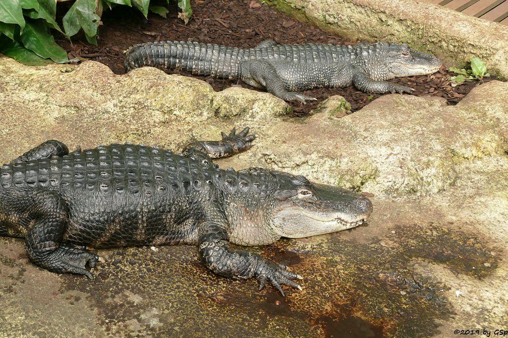 Mississippi-Alligator (Hechtalligator)