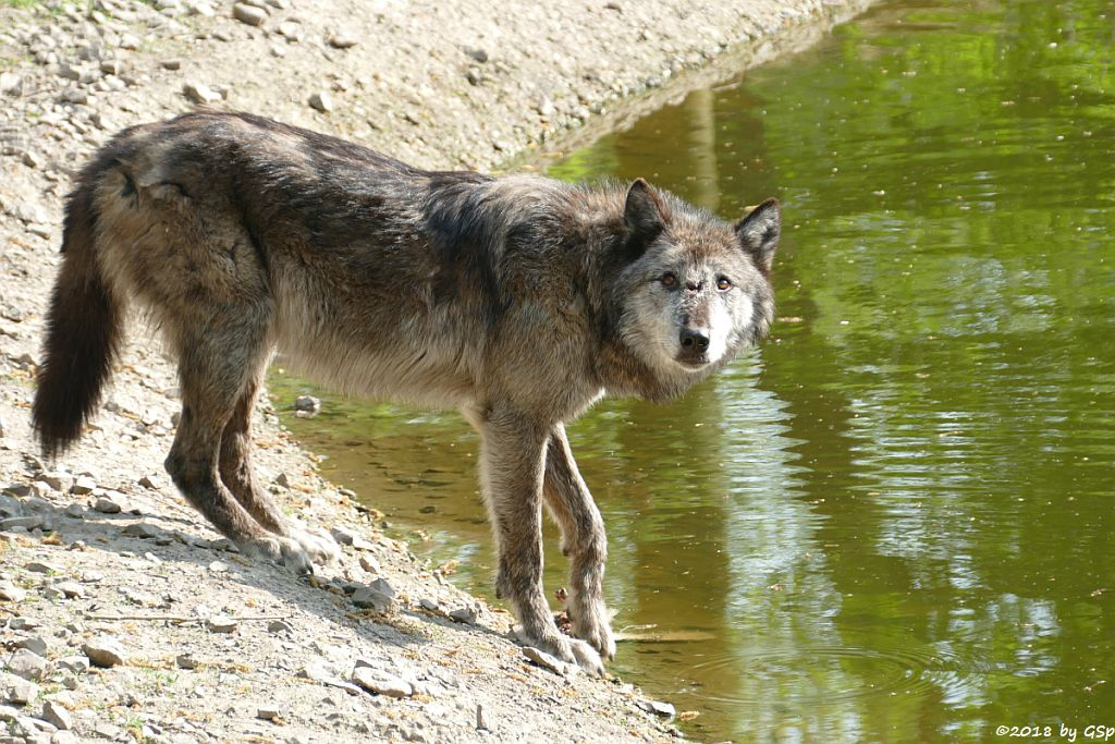 Westlicher Timberwolf (Mackenzie-Valley-Wolf)