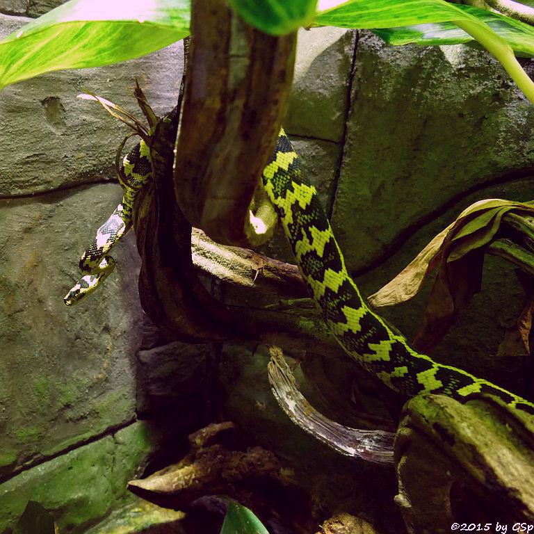 Dschungel-Teppichpython