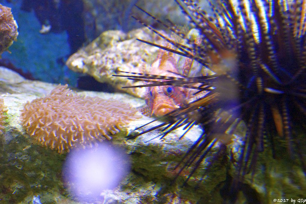Kurzflossen-Zwergfeuerfisch, Lanzenseeigel