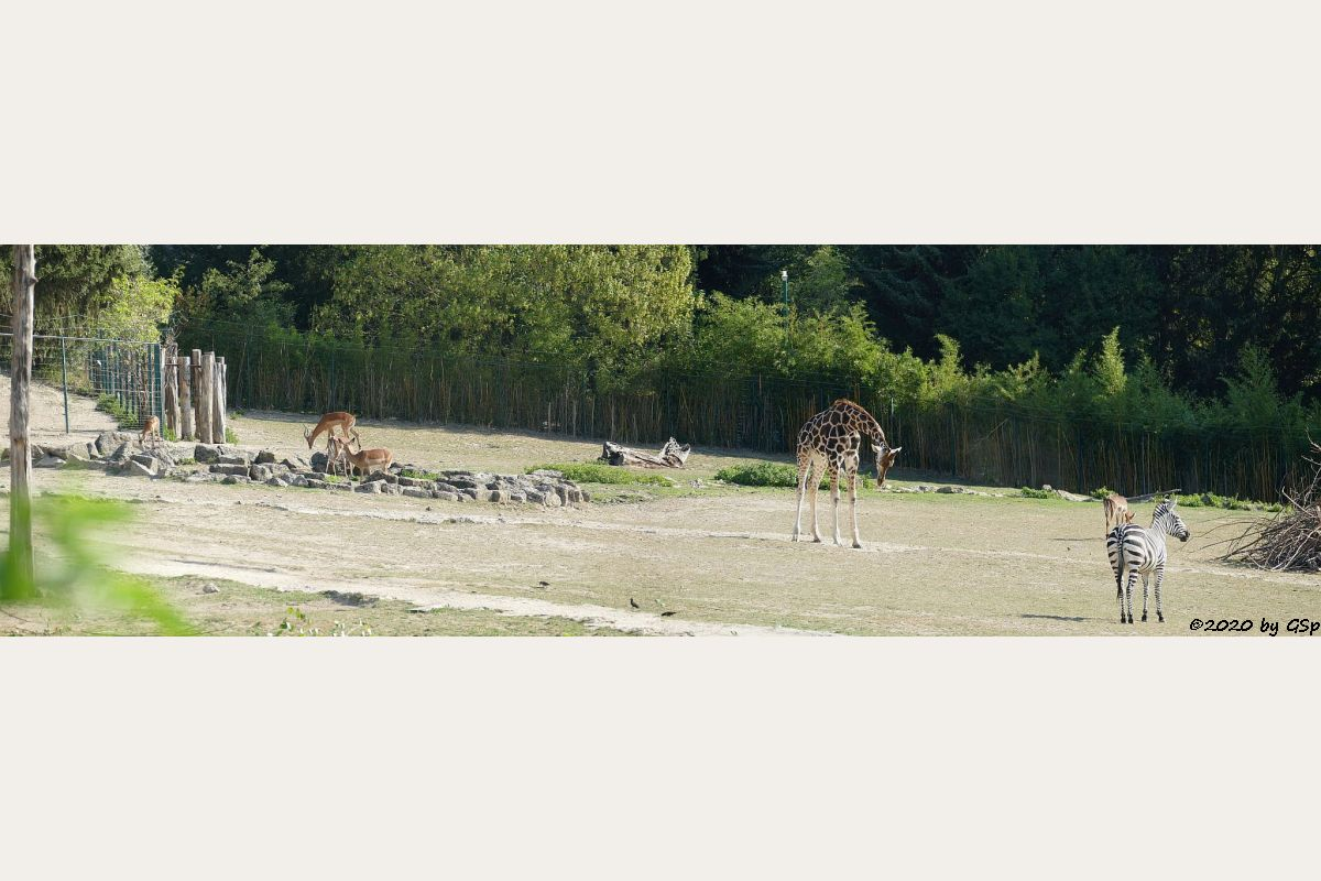 Impala (Schwarzfersenantilope), Rothschildgiraffe (Uganda-Giraffe, Baringo-Giraffe), Böhm-Steppenzebra (Grant-Zebra)