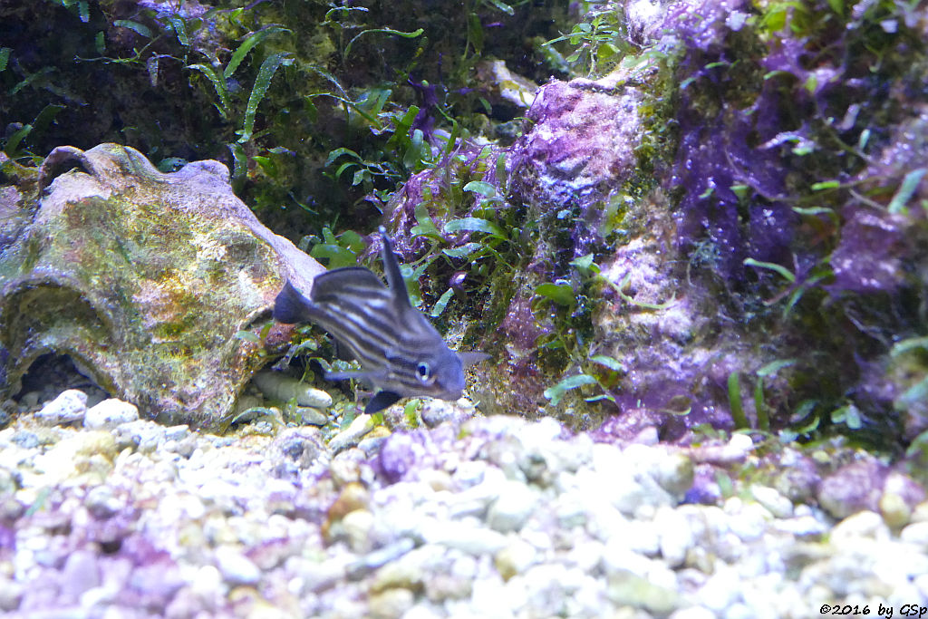 Streifen-Ritterfisch