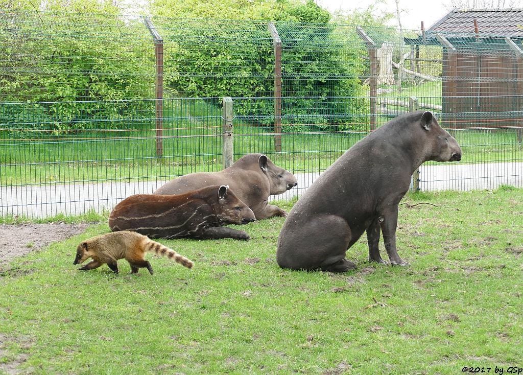 Roter Nasenbär (Gewöhnlicher Nasenbär, Südamerikanischer Nasenbär), Flachlandtapir (Südamerikanischer Tapir)