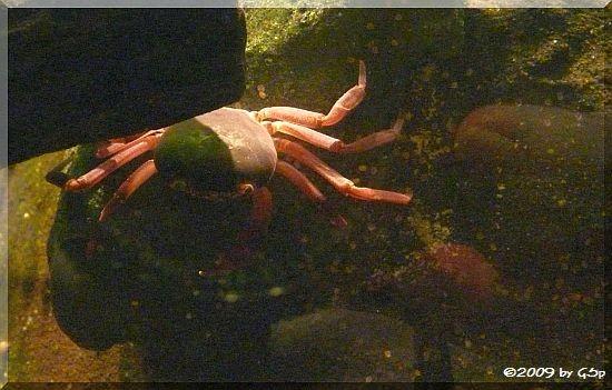 Sokotra-Süßwasserkrabbe