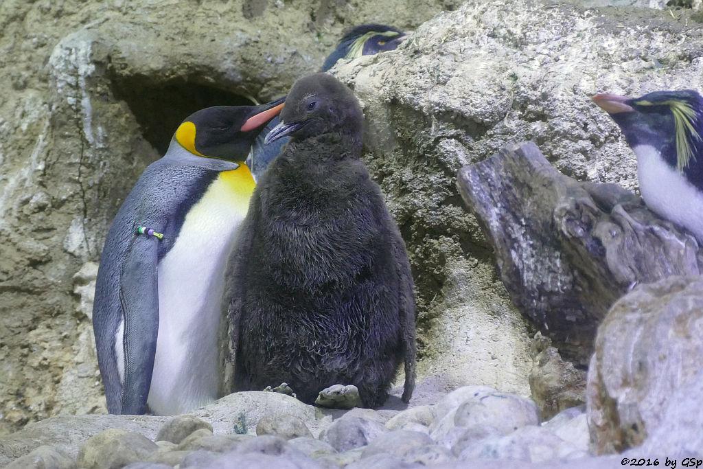 Königspinguin, Nordfelsenpinguin (Tristan-da-Cunha-Felsenpinguin, Nördlicher Felsenpinguin)