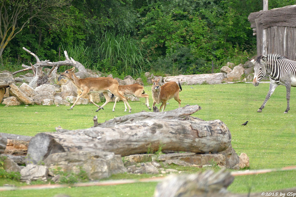 Weißnacken-Moorantilope, Grévy-Zebra
