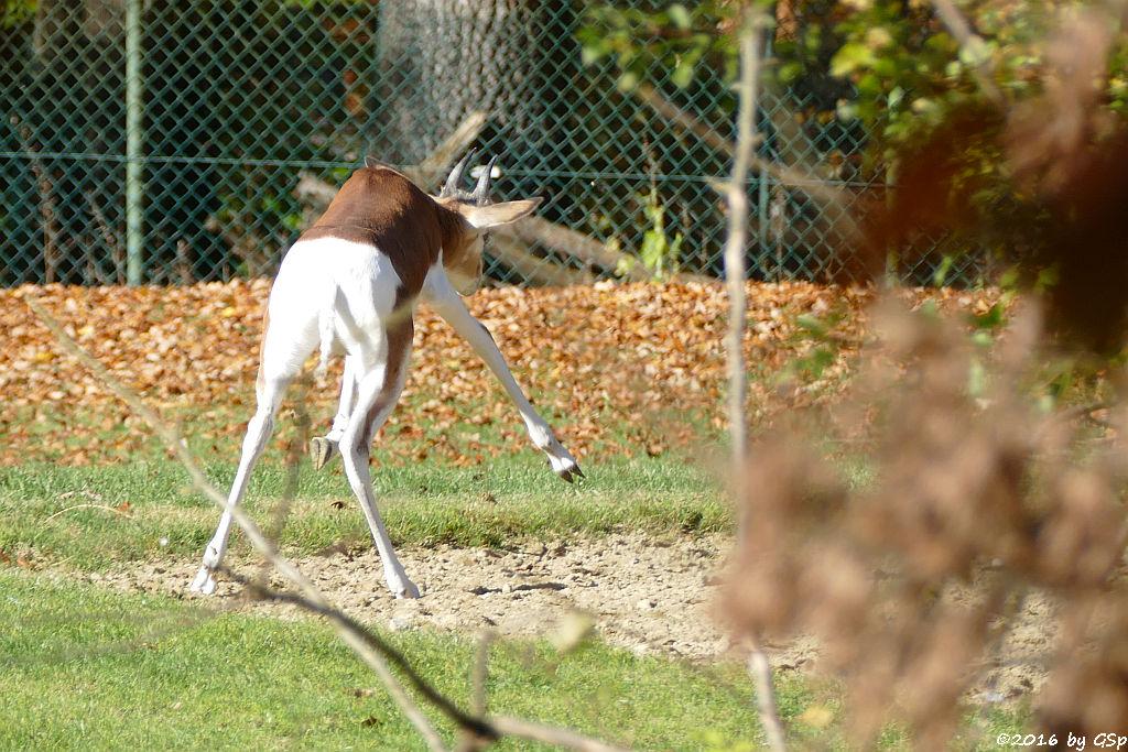 Mhorr-Gazelle