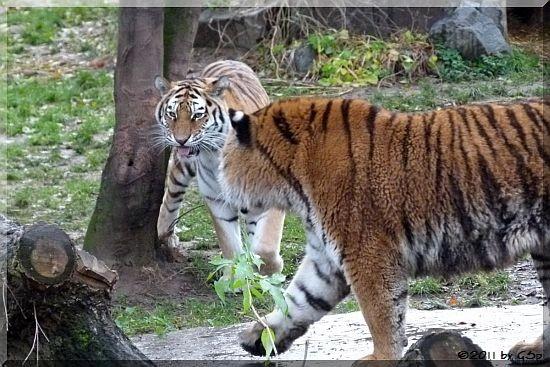 Sibirische Tiger HANYA und ALTAI