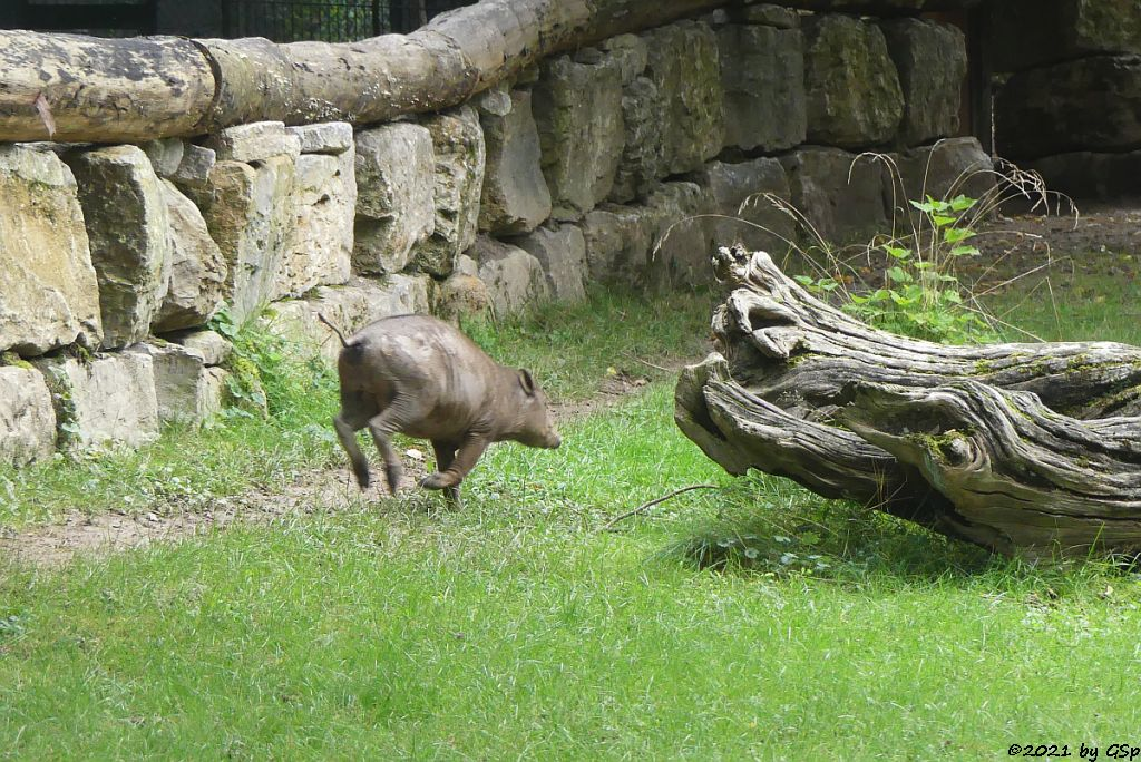 Sulawesi-Hirscheber (Celebes-Hirscheber, Sulawesi-Babyrusa)