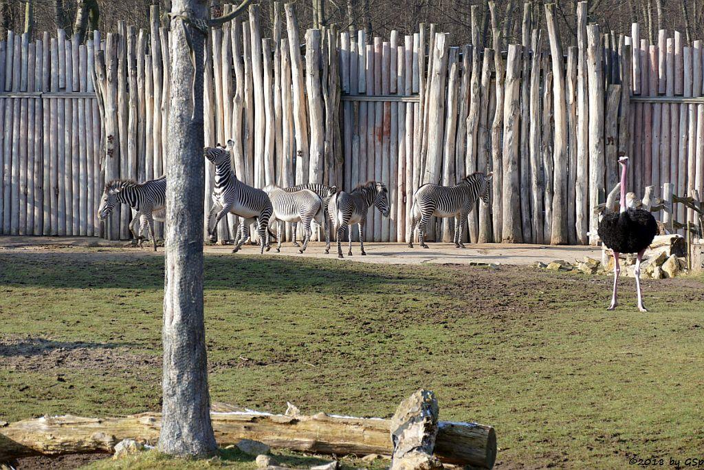 Grévy-Zebra, Nordafrikanischer Strauß (Nordafrikanischer Rothalsstrauß)