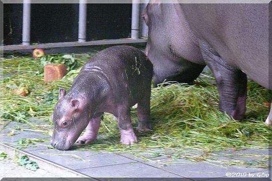 Flusspferd-Jungtier geb. am 22.05.10