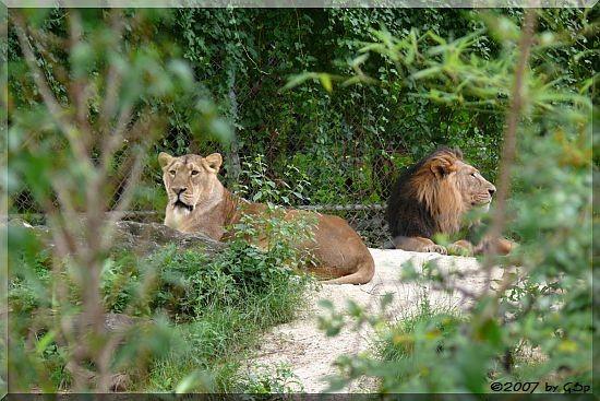 Indischer Löwe ZARINA und KASCHI