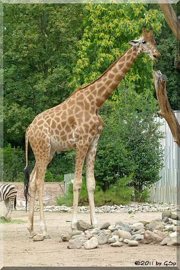 Westafrikan. Giraffe (Kordofan-Giraffe) DIKO