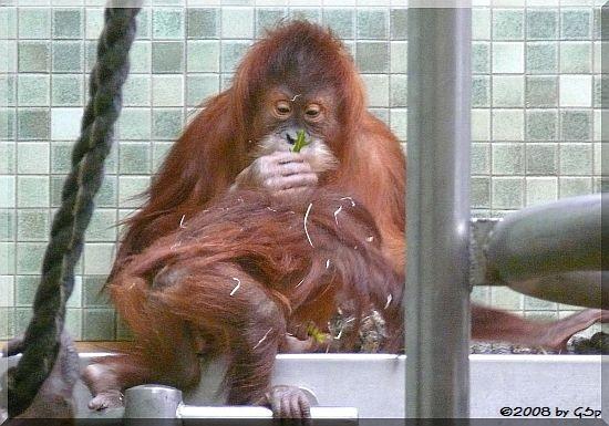 Sumatra-Orang-Utan SATU und DJASINGA