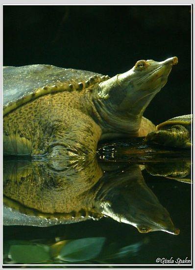 Dornrand Weichschildkröte