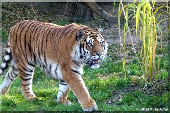Sibirischer Tiger ALTAI