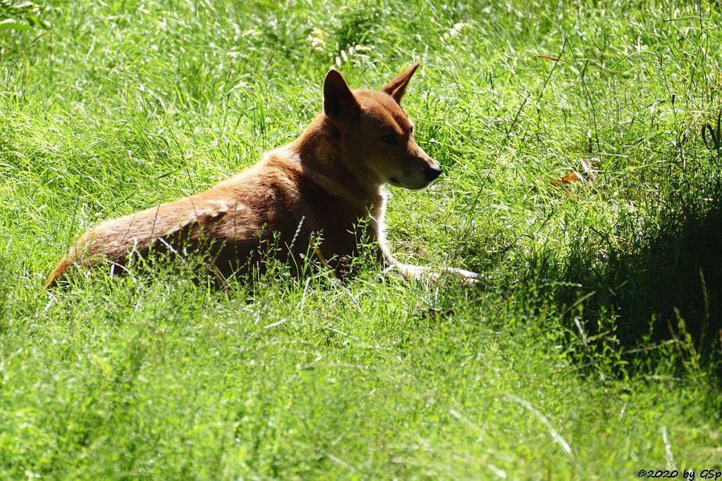 Australischer Dingo