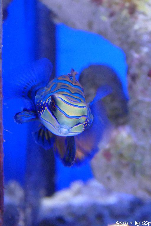 Mandarinleierfisch (Glänzender Mandarinfisch, Mandarinfisch)