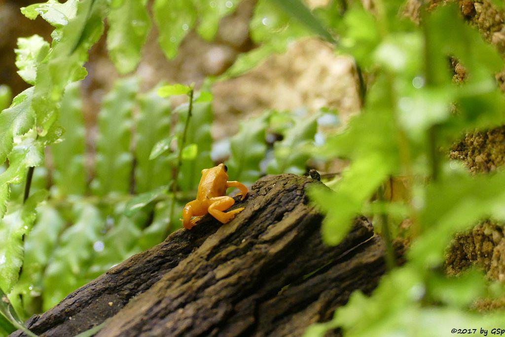 Goldfröschchen