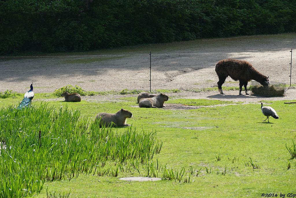 Blauer Pfau, Wasserschwein (Capybara), Alpaka