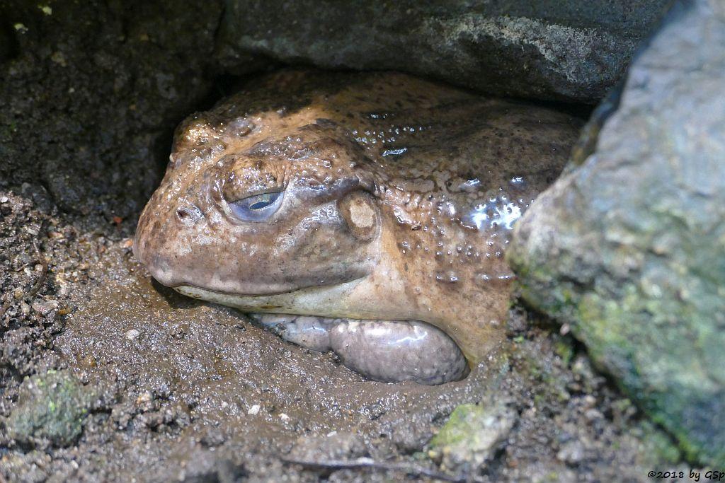 Gesprenkelter Grabfrosch (Afrikanischer Grabfrosch, Afrikanischer Ochsenfrosch)