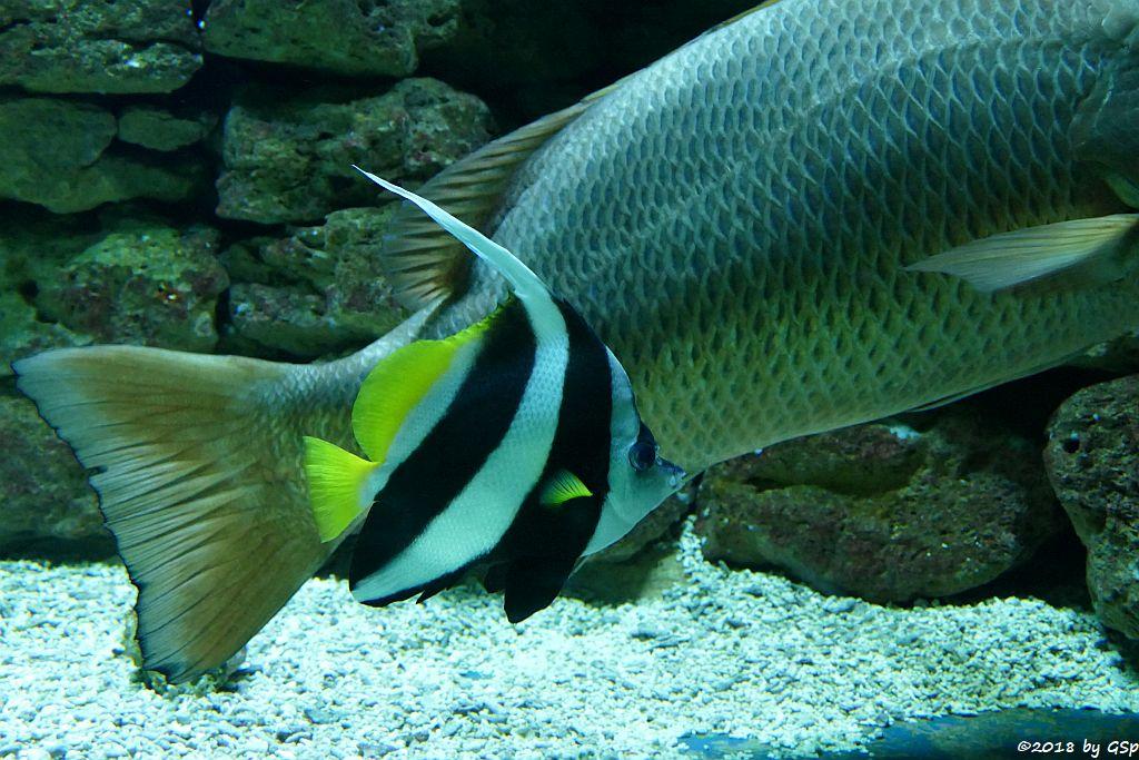Spitzschnauziger (Gemeiner) Wimpelfisch (Geißler)