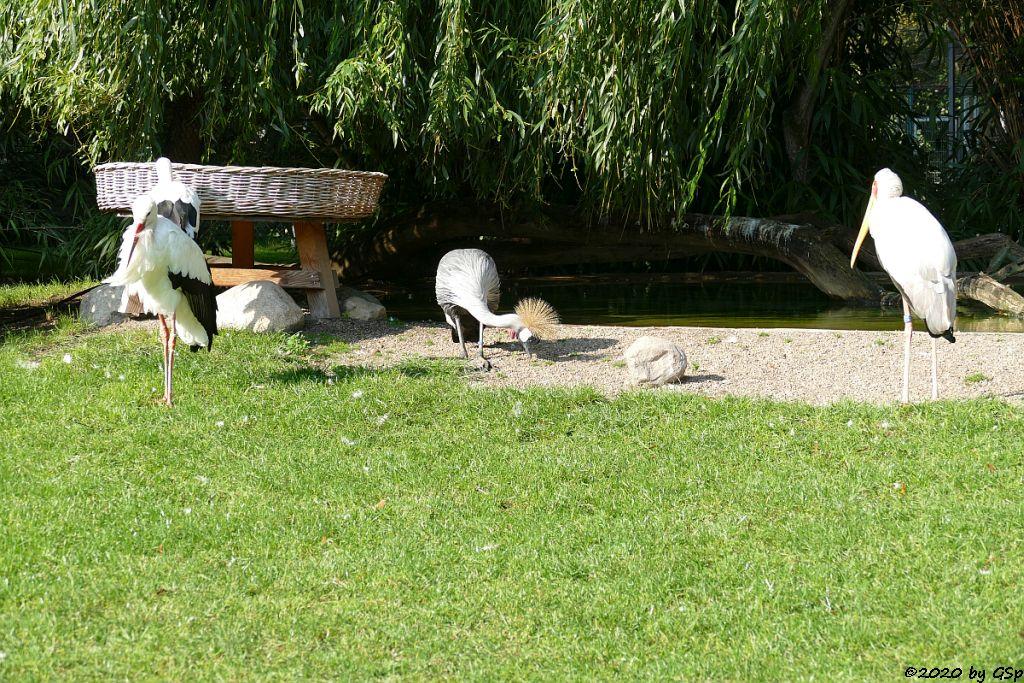 Europäischer Weißstorch, Ostafrikanischer Kronenkranich, Nimmersatt (Afrikanischer Nimmersatt, Gelbschnabelstorch)
