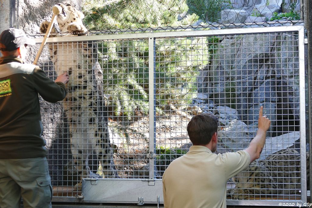 Schneeleopard (Irbis, Unze) ASKAR und CHANDRA