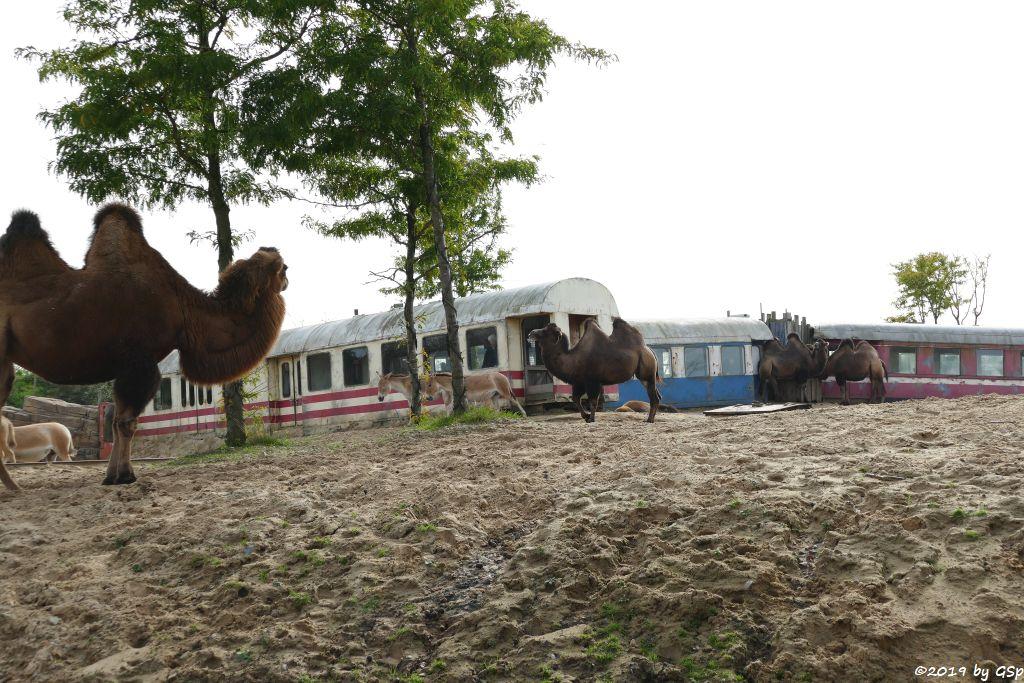 Trampeltier (Zweihöckriges Kamel, Hauskamel), Onager (Persischer Halbsesel)