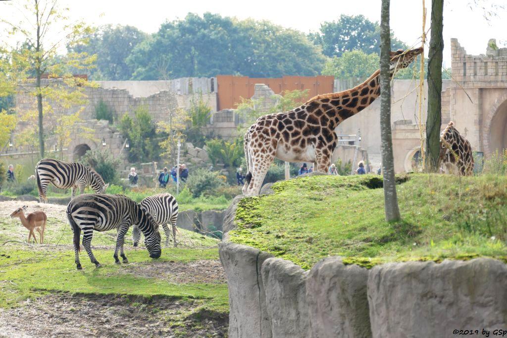 Gewöhnliche Impala (Schwarzfersenantilope), Böhm-Steppenzebra (Grant-Zebra), Rothschildgiraffe (Uganda-Giraffe, Baringo-Giraffe)