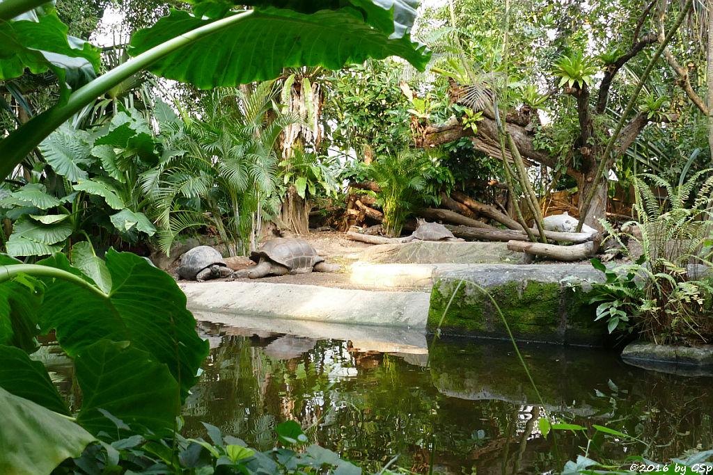 Aldabra-Riesenschildkröte, Rotstirnmaki