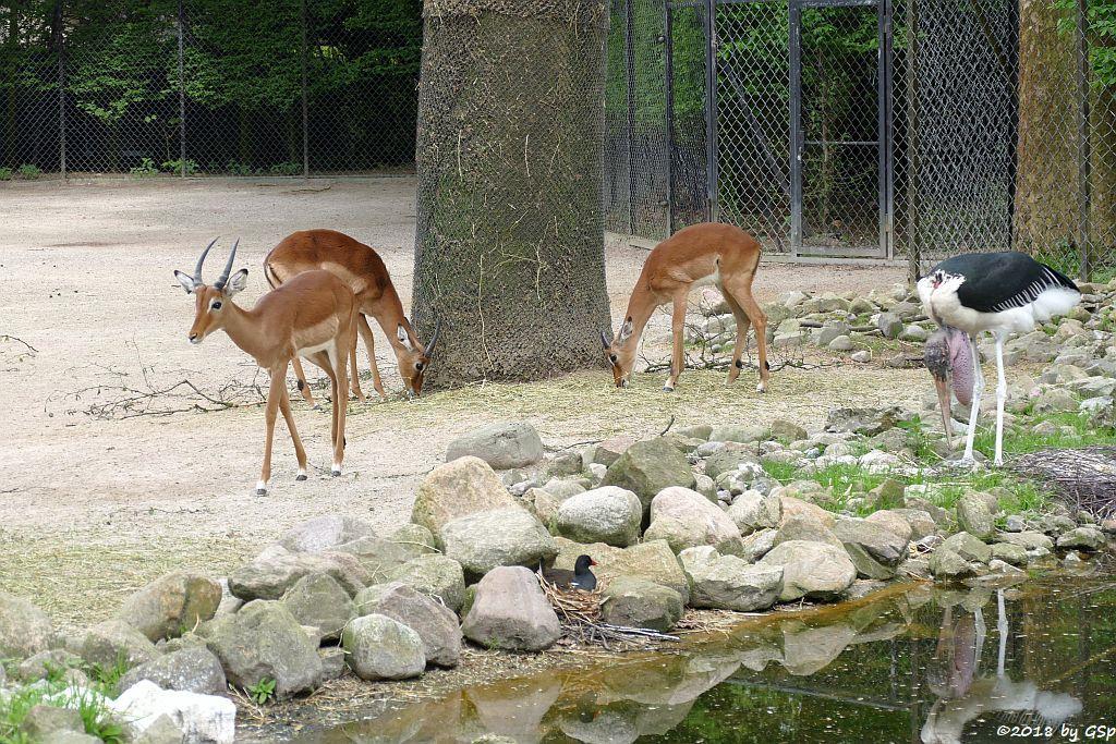 Gewöhnliche Impala (Schwarzfersenantilope, Afrikanischer Marabu