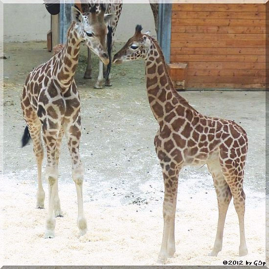Rothschild-Giraffe KALOU und LARA