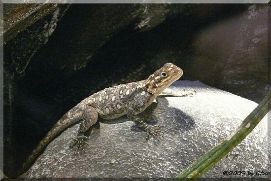 Siedleragame (Weibchen)